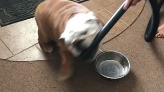 Gerald the Bulldog attacks the vacuum cleaner - Video