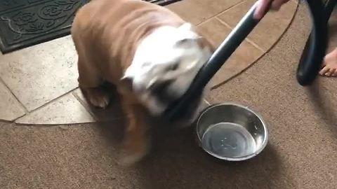 Gerald the Bulldog attacks the vacuum cleaner