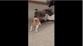 Pit Bull plays with tiny Chihuahua puppy