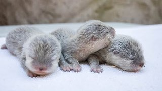 Adorable Otter Pups Born at Santa Barbara Zoo - Video