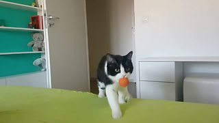 Elegant cat masters game of fetch - Video