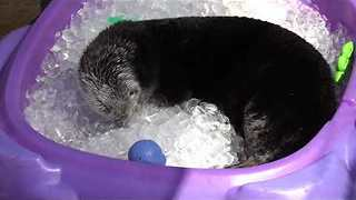 Oregon Zoo Sea Otters Enjoy 'Otter Pops' on Sweltering Day - Video