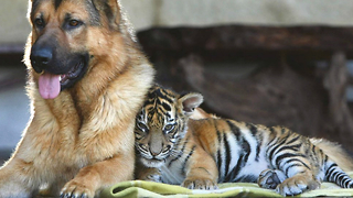 Tiger And Dog Are Best Friends