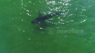 Is this the shark that bit man in Cape Cod?
