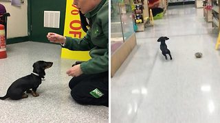 Adorable Dachshund Works At Local Pet Store Shop As Chief Meeter And Greeter - Video
