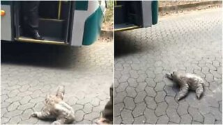 Hitchhiker sloth asks bus driver for a ride