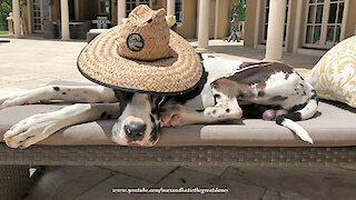 Laid back Great Dane chills out with his super cool sun hat
