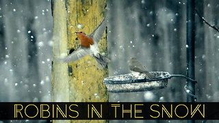 Robins in the snow captured in super slow motion