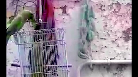 Pet parrot shares snacks with wild parrot friends in India