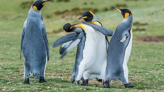 Feathered foes! Plucky penguins p-p-pick a fight to impress the female in hilarious slapping battle