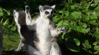 Funny lemurs use bush as personal trampoline