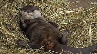 Adorable Otter Loves His Fresh Bedding
