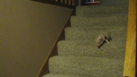 Tiny mini pig conquers the staircase