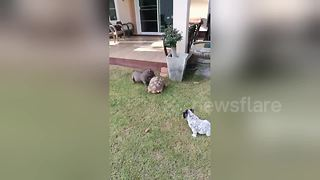 Bossy pet tortoise chases away two bulldogs - Video