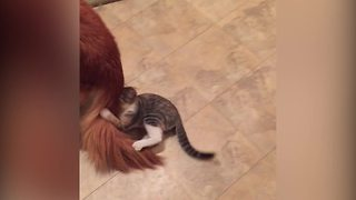 Hilarious Cat Attacks Dog's Tail - Video