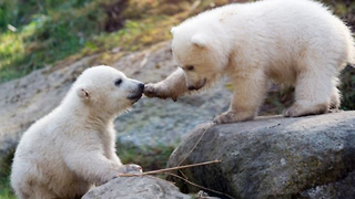 Polar Bear Cubs from Munich are Named Nela and Nobby - Video