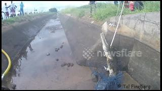 Man rescues angry crocodile from irrigation channel - Video