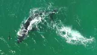 Whale and Her Calf Frolic With Pod of Dolphins Off South Coast - Video