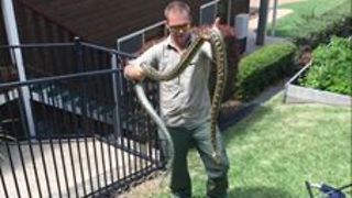 Huge, Angry Carpet Python Removed From Home - Video