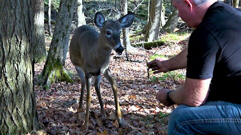 Running deer stops to share apples with man snacking in the forest