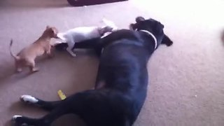 Chihuahua puppies swarm Mastiff for epic playtime