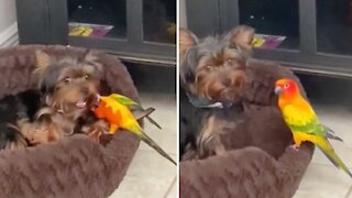 Overly attached parrot refuses to let puppy take his nap