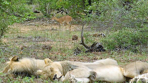 Tiny antelope amazingly risks walking past sleeping lions