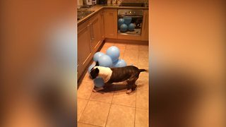 Bull Terrier Dog Attacks And Pops A Bunch Of Balloons - Video