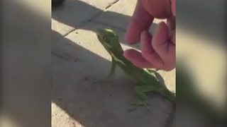 A Man Freaks Out Over A Lizard - Video