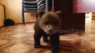 Orphaned brown bear cub gets a new home - Video