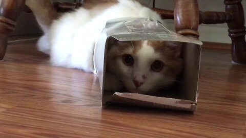 The Tabby and the Tissue Box