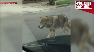 Coyote spotted in Sarasota