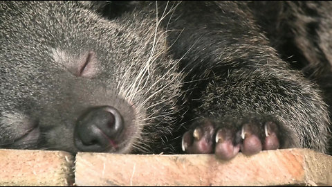 Binturong Squabbles With His New Mate