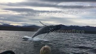 'Flying' Humpback Whale Party Crashes Birthday Party - Video