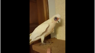 Naughty cockatoo damages cat's perch - Video