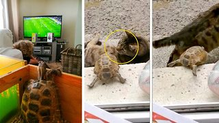 Shell shocked! Tortoise jumps on cat in daring great escape – leaving it terrifed