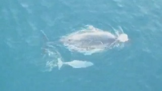 Man Tracks Whale and Calf With Drone on Facebook Live - Video