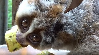 Loris Enjoys a Delicious Banana