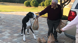 Funny Great Dane Helps Grandparents Bring in Packages  - Video