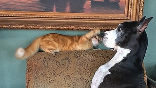 Katie the Great Dane gets swatted on the nose by her cat