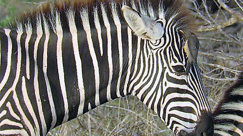 Helpful bird eagerly styles zebra's mane