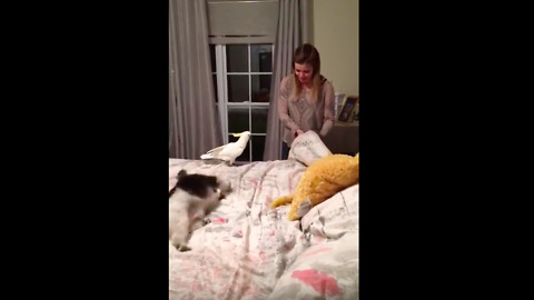 Cockatoo attacks girl for sitting on his bed