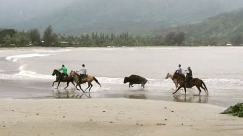 Ranchers Capture Bison on Loose on Hawaii Beach Amid Flooding