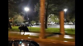 Bear Bolts Down Street in Schenectady, New York