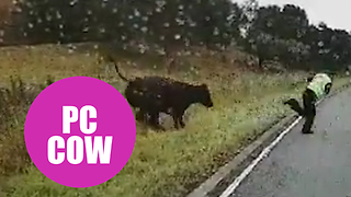 Police officer attempts to direct an errant cow back to its field