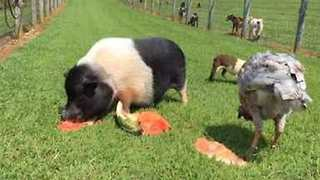 Helpless Watermelon Soundly Defeated by Hungry Pig - Video