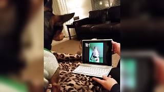 Canine Friends Have A Video Chat
