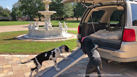 Clever Great Dane and Puppy Love To Use Ramp to Get Into SUV