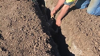 Kangaroo Is Rescued From A Trench Where A PVC Irrigation Pipe Was Being Installed  - Video
