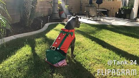 Pit Bull Models New Elf Costume For The Holidays